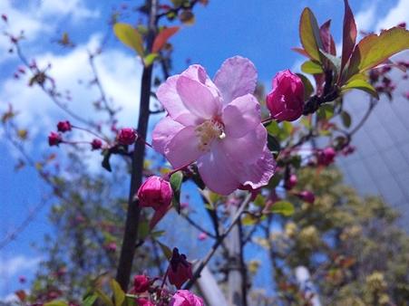 近所の桜11033101