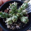 写真: Euphorbia sp.nova