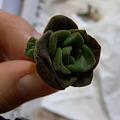 写真: Aeonium Lily Pad