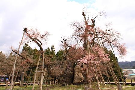 国指定天然記念物「伊佐沢の久保桜」