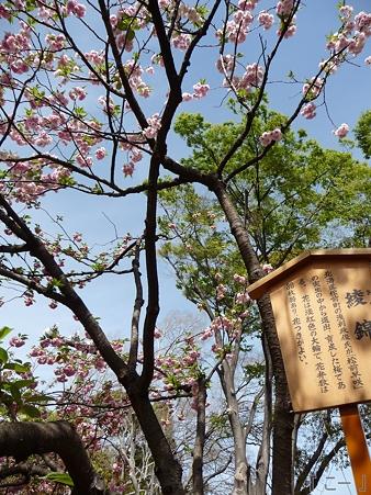 110417-造幣局 桜の通り抜け (48)