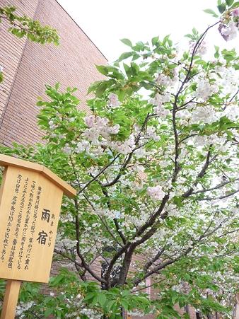 110417-造幣局 桜の通り抜け (64)