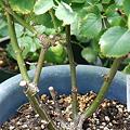 マラガの根元栽培5年