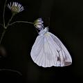 写真: 夜の蝶