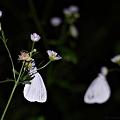 写真: 夜の蝶とそのライバル