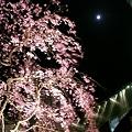 Photos: 070329sakura