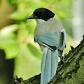 Photos: オナガ成鳥