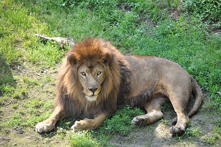 ライオン5