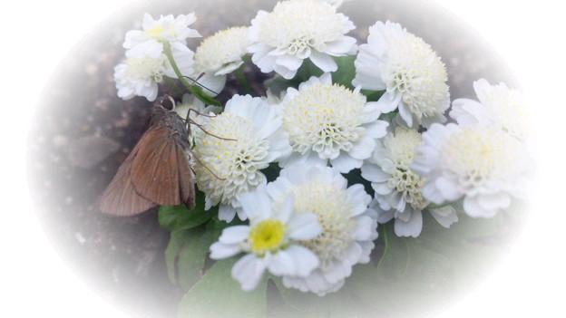 小さな可愛いお花に小さな可愛いセセリン♪