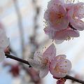 Photos: 今年の梅