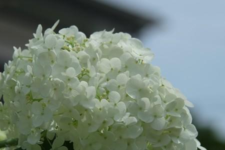 2014.07.06 和泉川 アジサイ