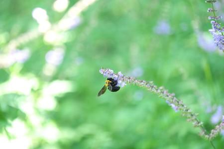 2014.07.08 瀬谷市民の森 アキノタムラソウに クマバチ
