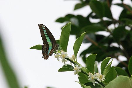 2010.07.13 和泉川  ナツミカンにアオスジアゲハ