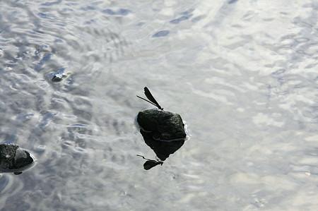 2010.08.12 和泉川 ハグロトンボ