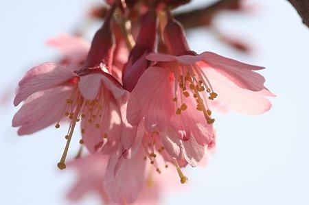 2011.03.20 和泉川 オカメザクラ