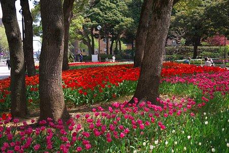 2011.04.15 横浜公園 チューリップまつり-13