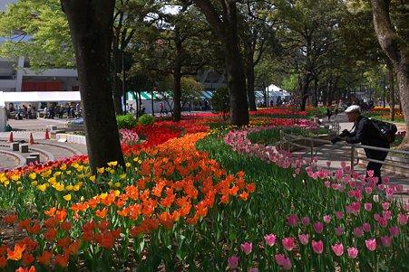 2011.04.15 横浜公園 チューリップまつり-14
