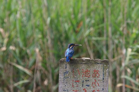 2011.07.09 大池公園 カワセミ