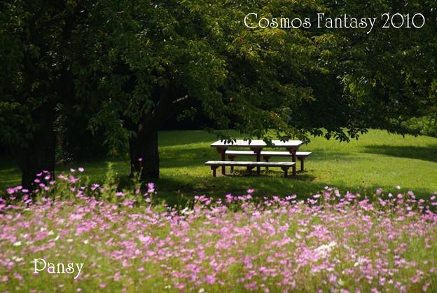 ベンチとコスモスのある風景・・