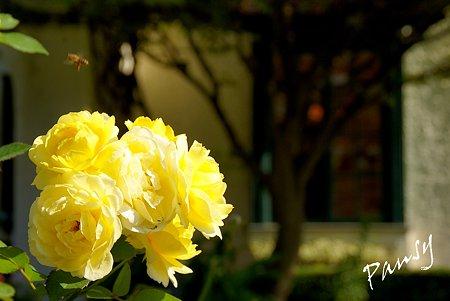 黄色のばらと・・窓・・