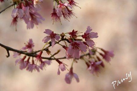 おかめ桜・・1