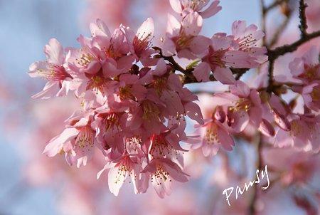 おかめ桜・・3