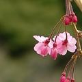 Photos: 枝垂桜・・・。
