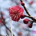 Photos: 緋梅