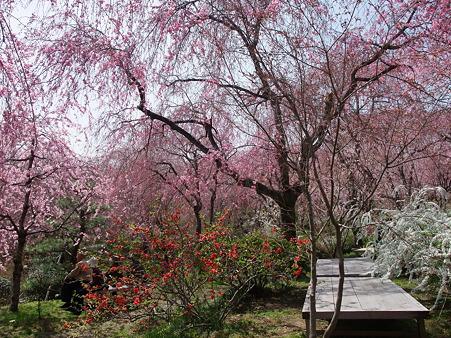 2011年4月10日 原谷苑その7