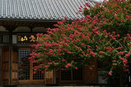 長谷寺の百日紅100821-786