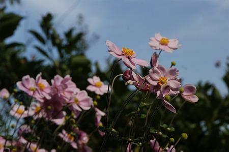 空に向かって、秋明菊!