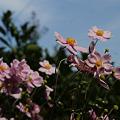 Photos: 空に向かって、秋明菊!