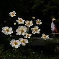 Photos: 白い秋明菊が浮かび上がる!