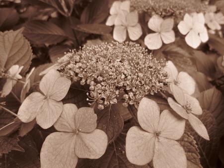 紫陽花 セピア