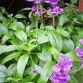 写真: ブルーサルビアきれいに咲いた。