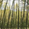写真: 100517-12 r15沿いの竹林