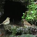 Photos: 100921-74キビタキ♀(左)とオオルリ♀