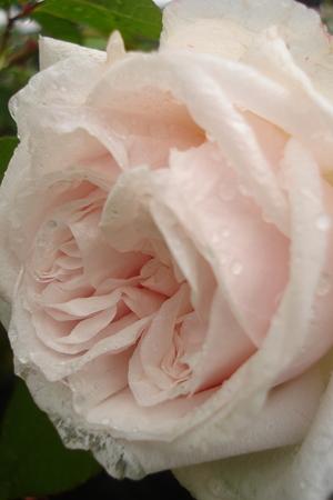 シルクのような花びらと…