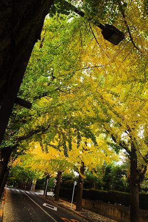 田園調布の銀杏並木