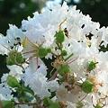 ふわふわと綿雲のように咲く
