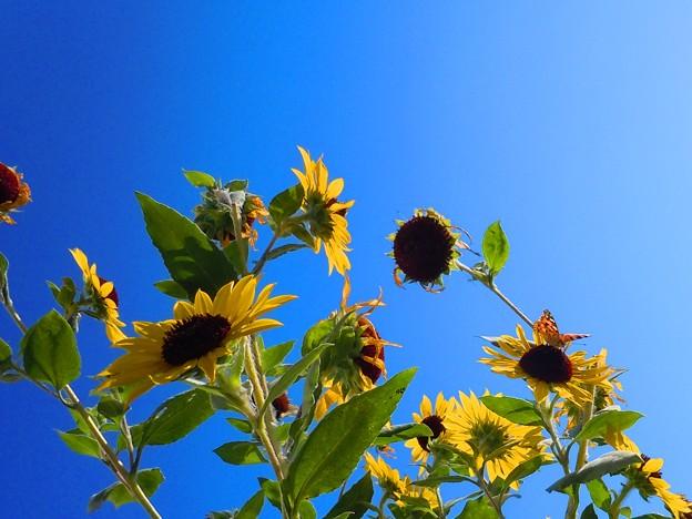 ツマグロ君のいる秋の向日葵畑