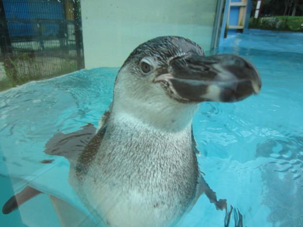 フンボルトペンギン (3)