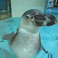 Photos: フンボルトペンギン (3)