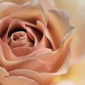 薔薇120515-1