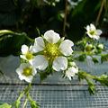 写真: プーさんのいちご園(4)