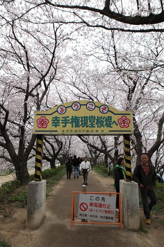 IMG_1401権現堂桜堤