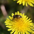 たんぽぽとハナアブ 花粉をつけて!