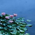 睡蓮(3) 草津市立水生植物公園みずの森