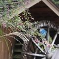Photos: 秋の陽や 萩と尾花と 水車かな