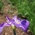蜜蜂と花菖蒲